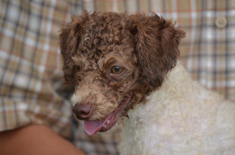 Raymond, the mini Poodle dad