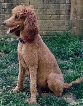 Jubilee, 54 pound Pure Bred Standard Red Poodle
