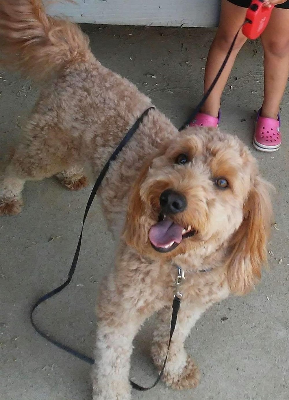 30 pound red mini Goldendoodle dad (Blue)