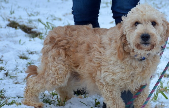 Trixie, Goldendoodle Mom