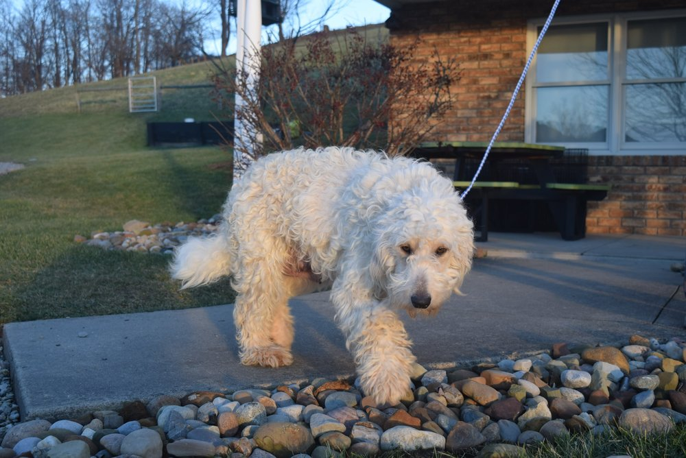 Charity, the Goldendoodle mom