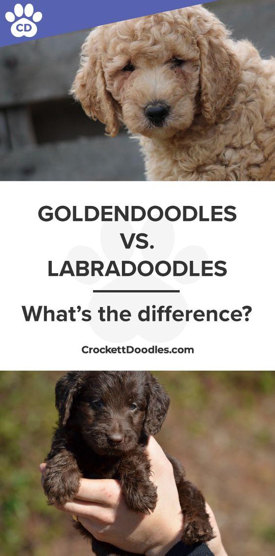 Goldendoodles-vs-Labradoodles.jpg