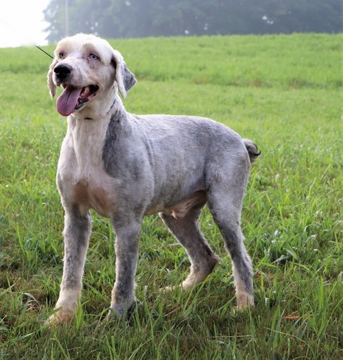Bentley, the Old English Sheepdog dad