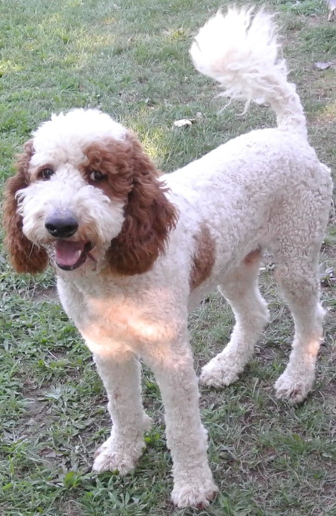 Standard Poodle Dad, Yankee - 62 pounds