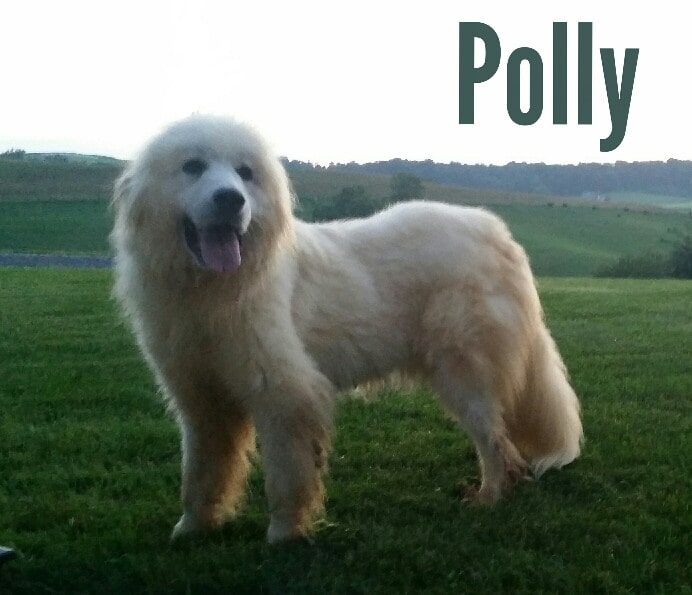 Polly, the Pyrenees mom