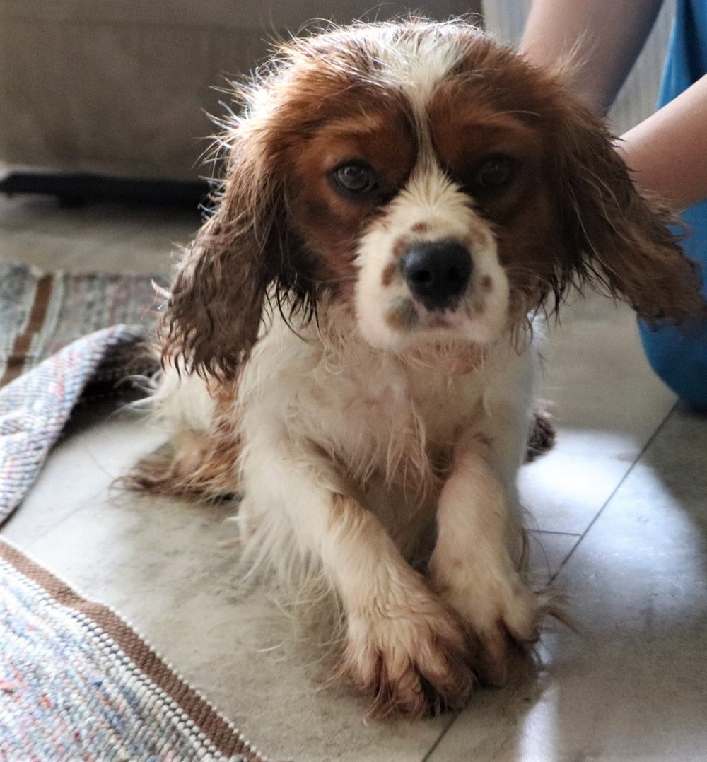 Sir Charles, the Cavalier King Charles Spaniel dad; still drying off from his bath
