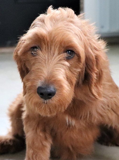 Danielle, the Goldendoodle mom