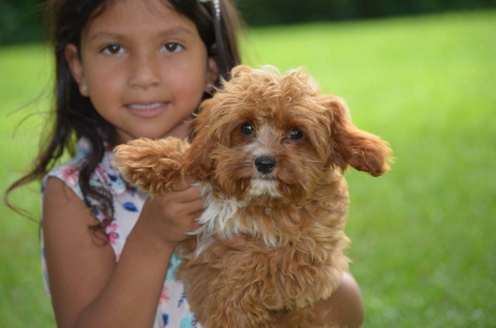 Destiny, the mini Cavapoo mom