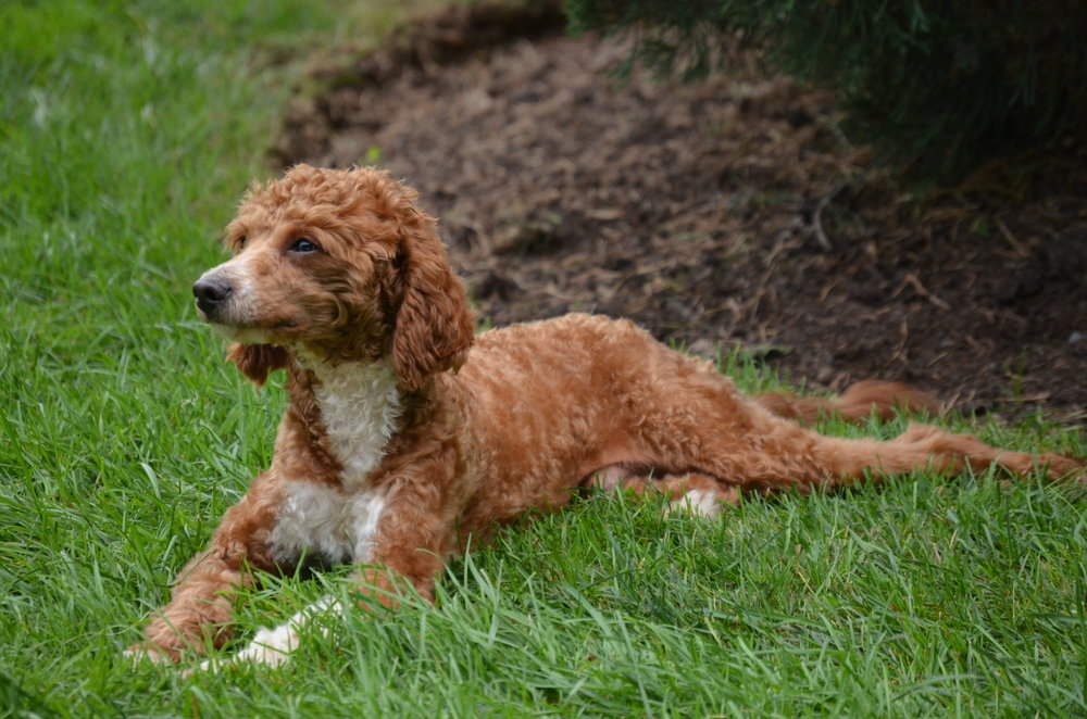 Randy, the red mini Poodle dad