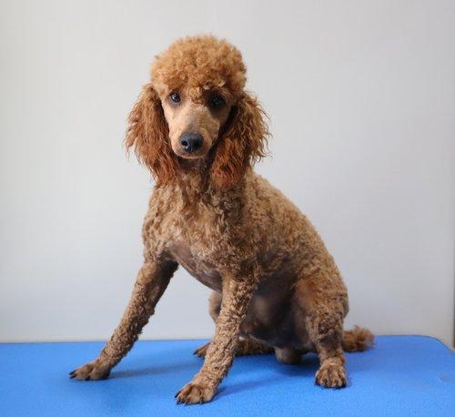 Alex, the Mini Poodle Dad