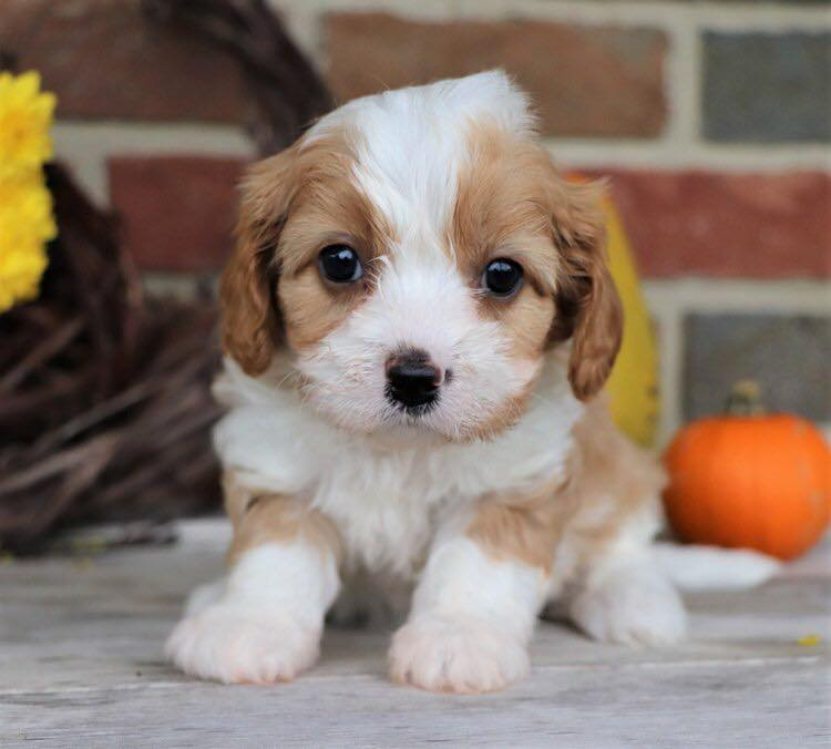 Blenheim Mini Cavapoo