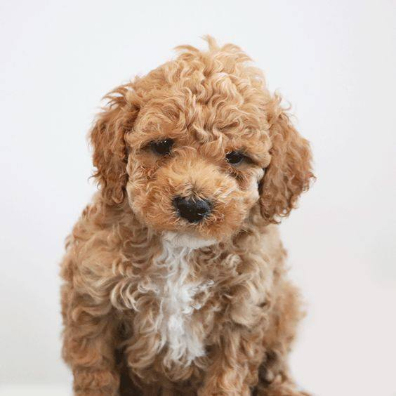 red-curly-cockapoo.jpg