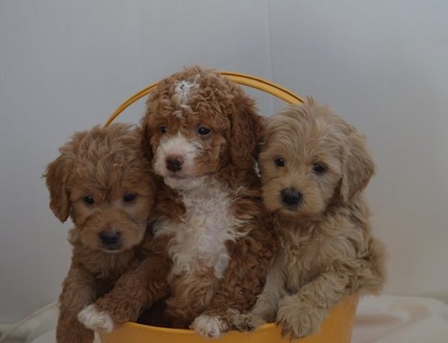 mini-Irishdoodles.jpg