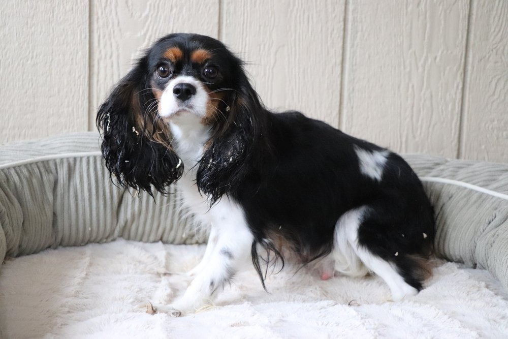 Bella, the Cavalier mom