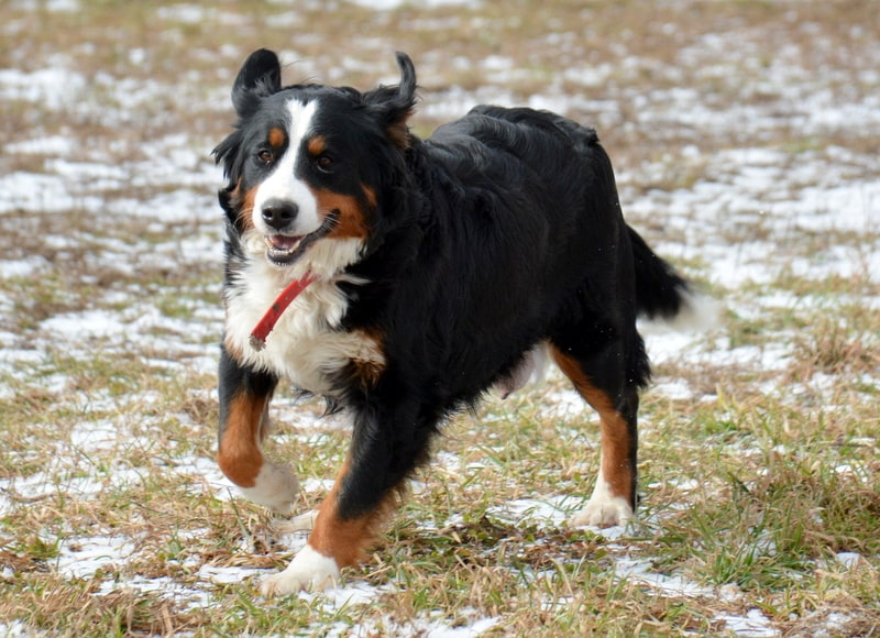 Lindsay, the Bernese Mountain Dog Mom
