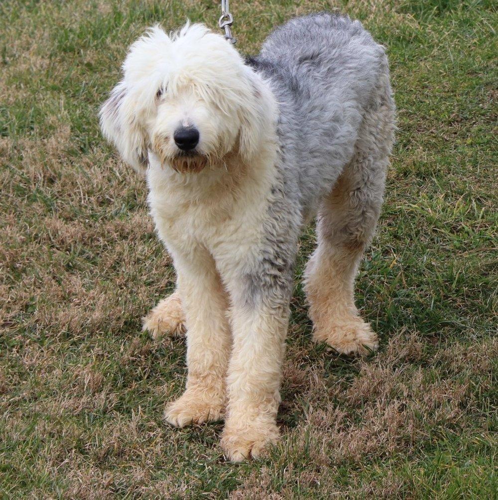 Sarge, the Old English Sheepdog dad