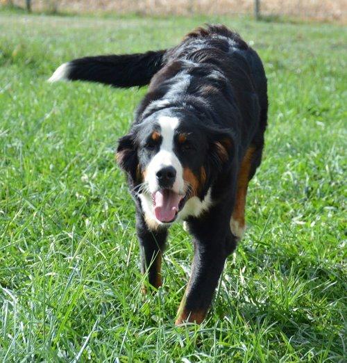 Macy, Bernese Mountain Dog mom