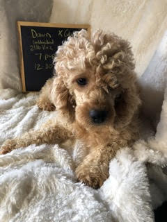 Dawn, the Mini Goldendoodle mom