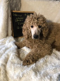 Buttercup, the Mini Goldendoodle mom; Buttercup's guardian home prefers to give her a poodle haircut; even though she's a Goldendoodle.