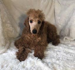 Quantus, the Mini Poodle dad
