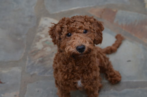 mini Poodle dad