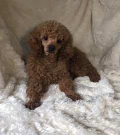 Pooh, the Mini Poodle dad