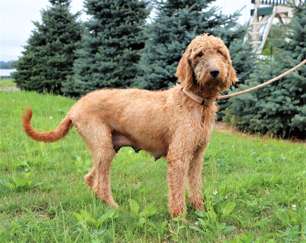 Kimberly, the Goldendoodle mom