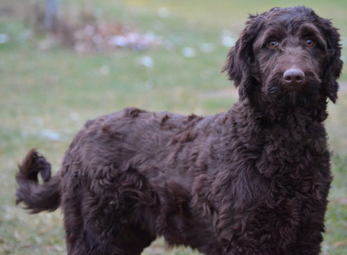 Willow, the Labradoodle mom