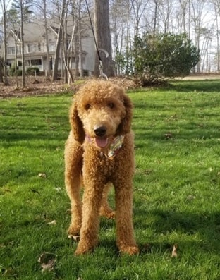 Judy, the Goldendoodle mom