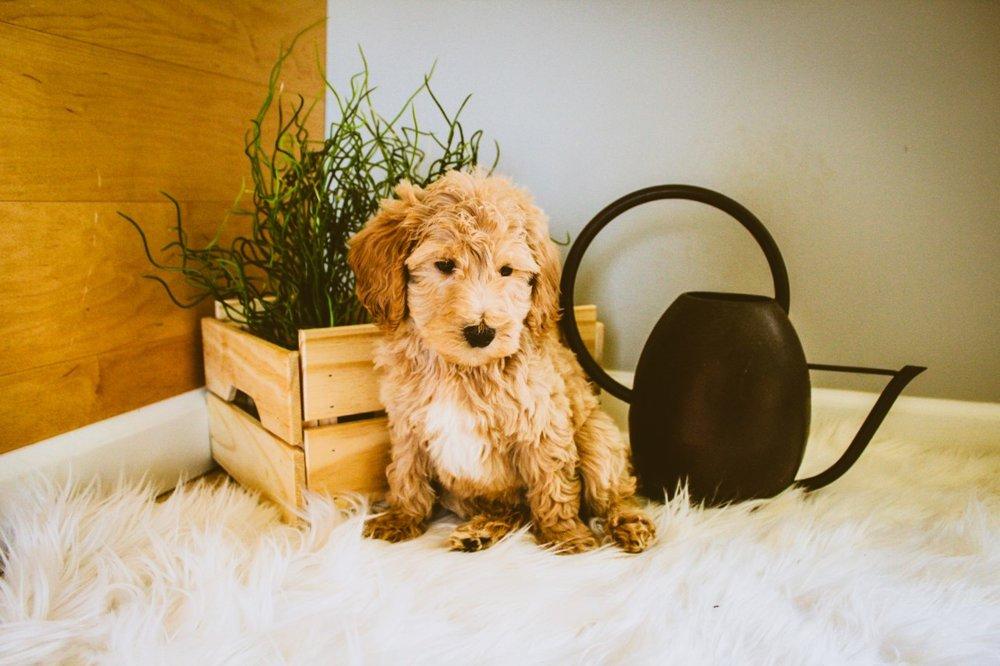mini Goldendoodle (15).jpg