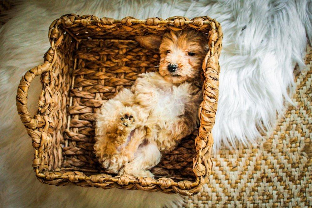 mini Goldendoodle (29).jpg