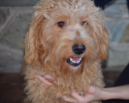 Teddy, Goldendoodle Mom