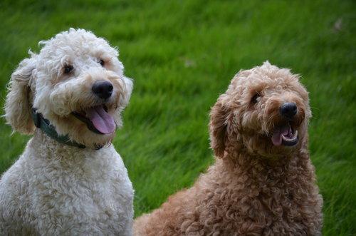 Tucker, English Cream mini Goldendoodle dad (on the left)