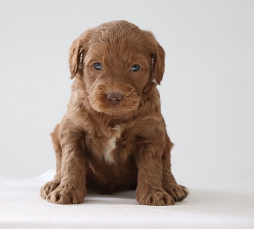 Name this Labradoodle girl to be entered for the $100 drawing