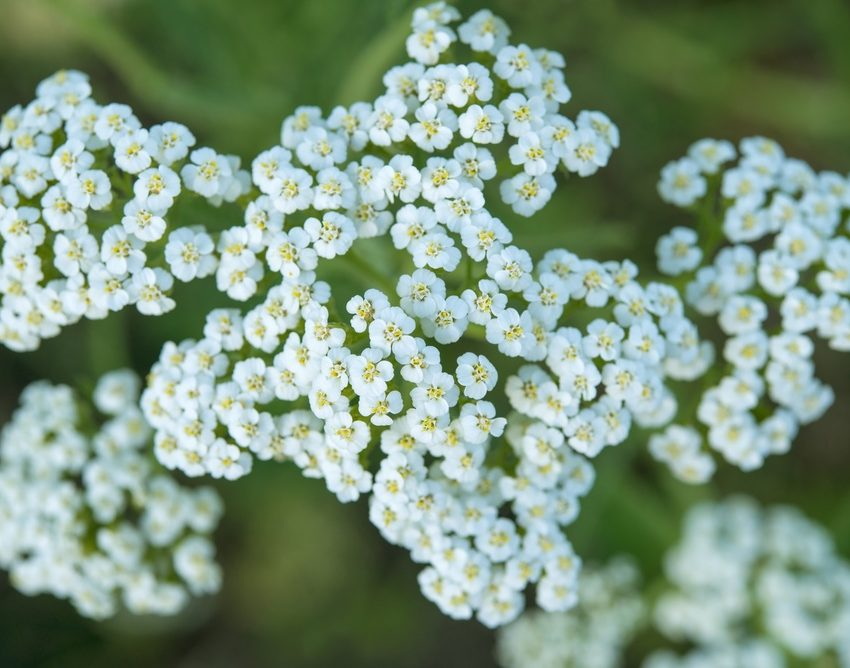 yarrow-blue-850x668.jpg