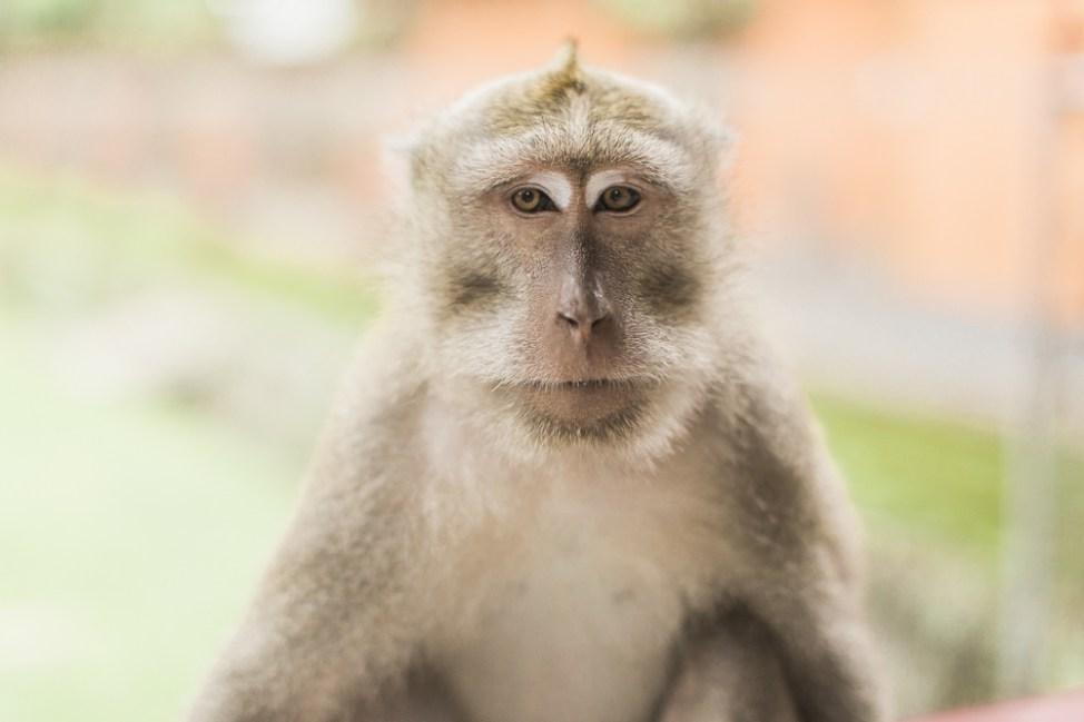 monkey model