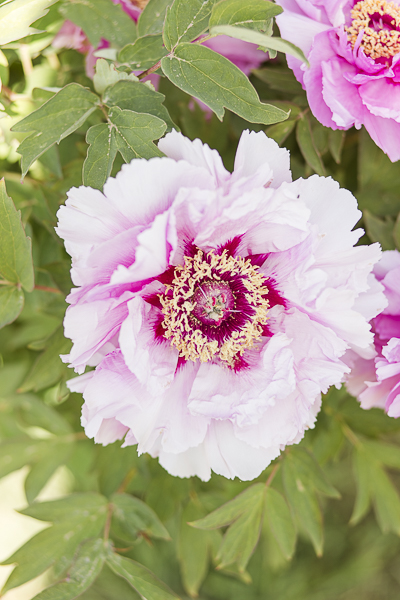 Engagement peonies Viterbo.jpg
