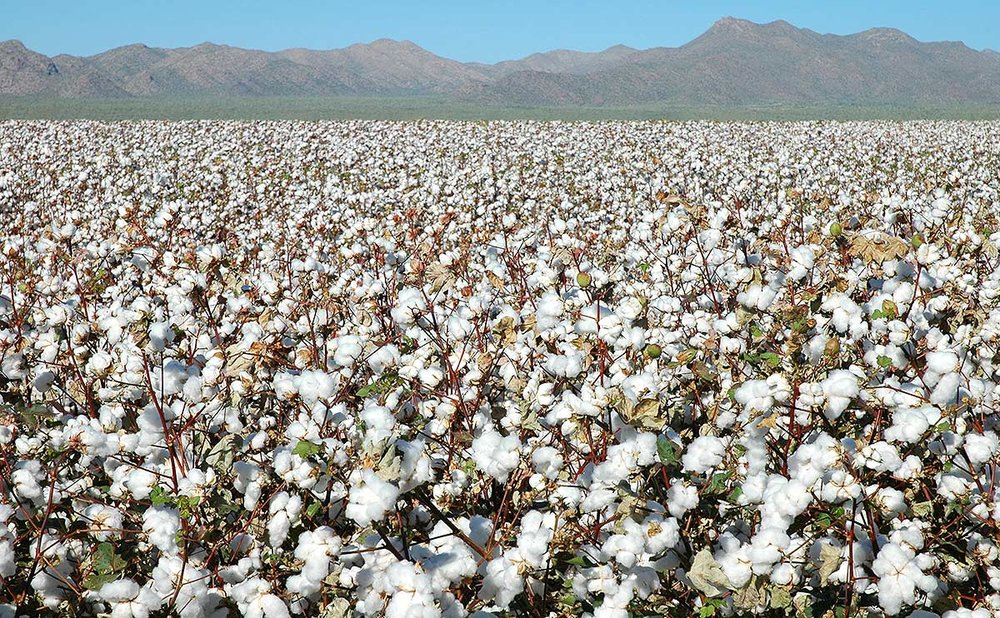 Cotton farming is the extremely damaging to the environment