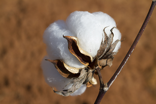 This is called a cotton 'boll' - #FunFact