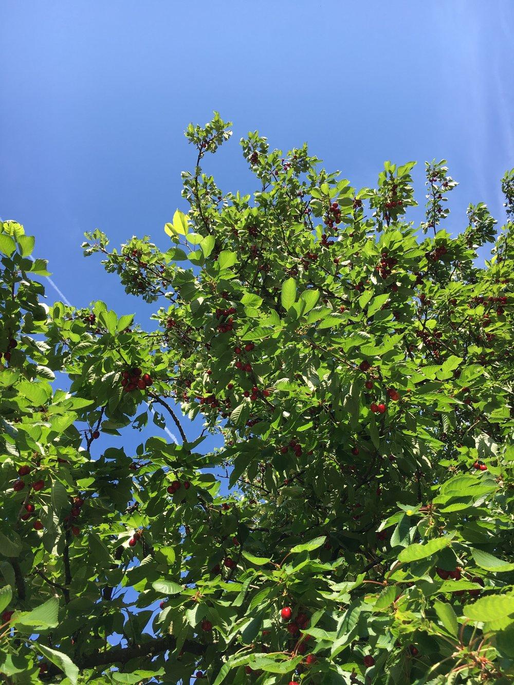 Voiko olla kirsikoita vaikka ei vielä olisi kesä?