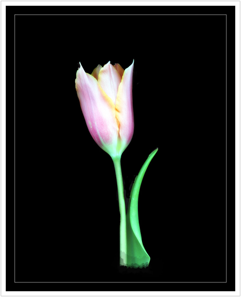 Pink Tulip limited edition prints