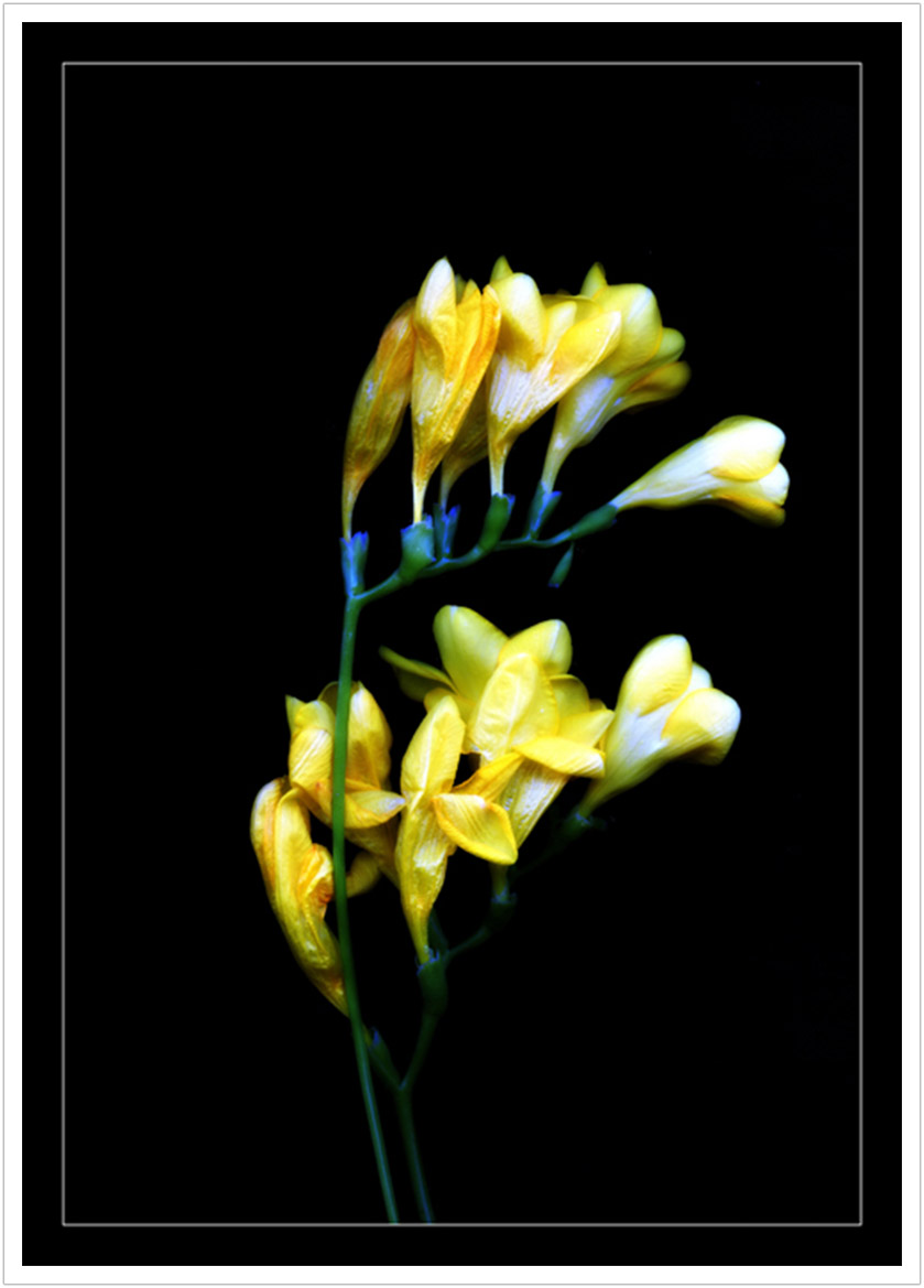 Yellow Flower limited edition prints
