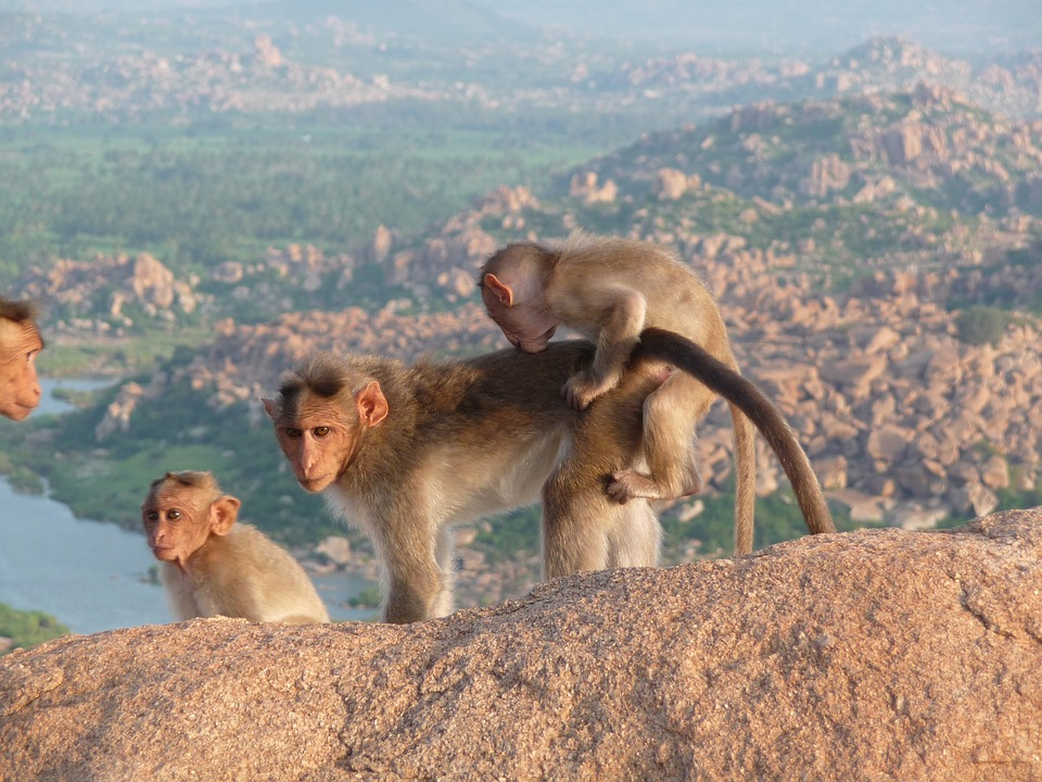 macacos na india 1.jpg