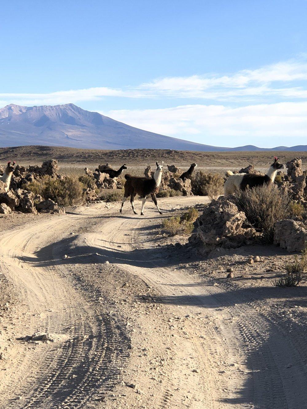 Llamas crossing amongst the coral.