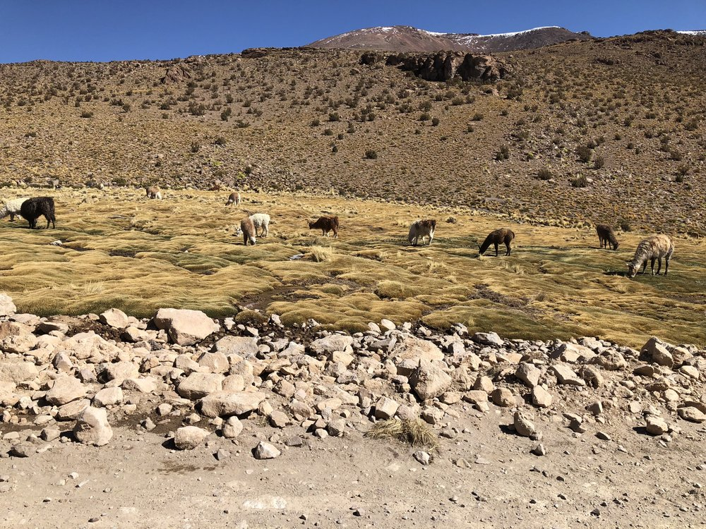 We saw so many llamas grazing on our drive!