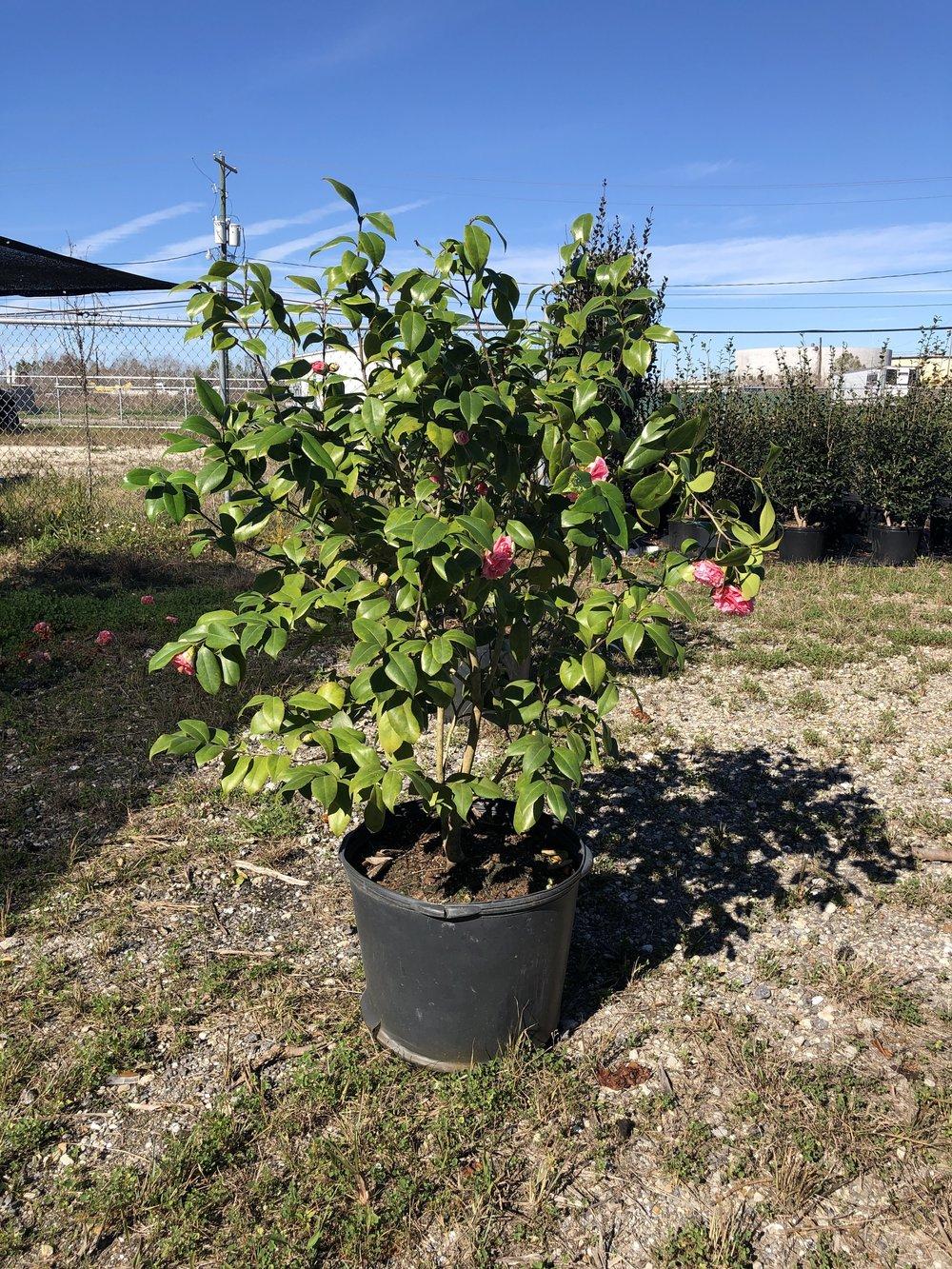 Shrubs - Camellias, Azaleas, Boxwoods…