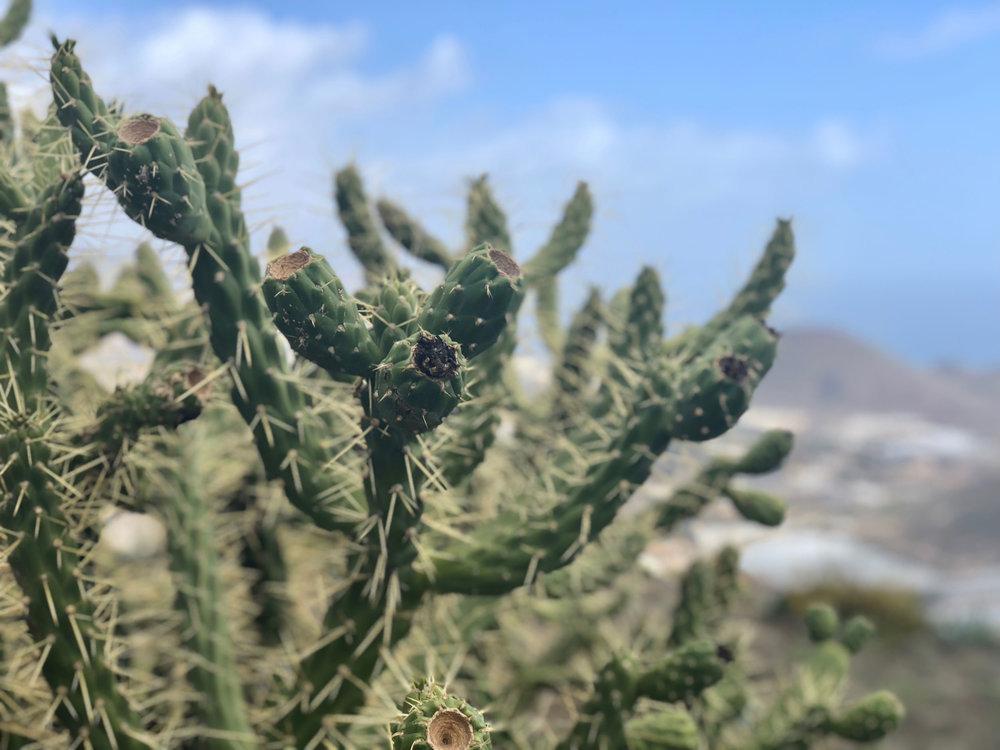Tenerife Cactus