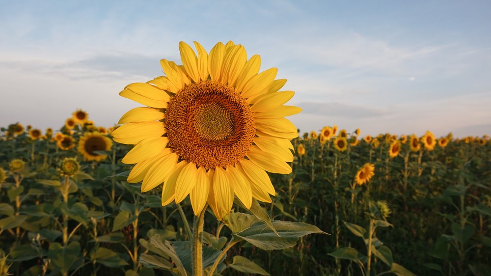pope farms sunflower