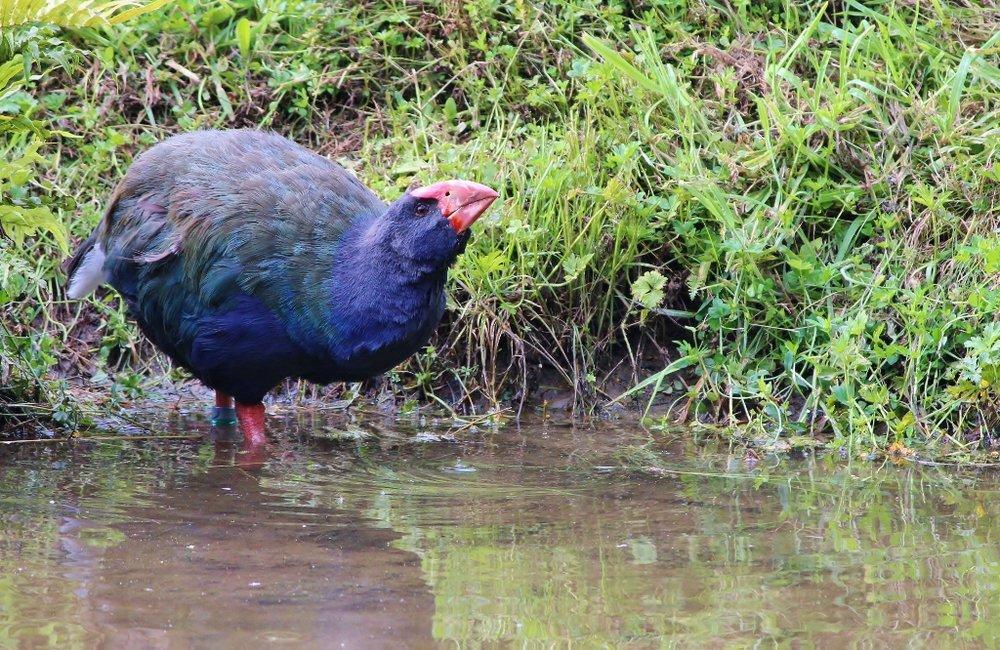 Takahe can be found near wetlands in the South Island. Photo credit Tara Swan via www.ramsar.org