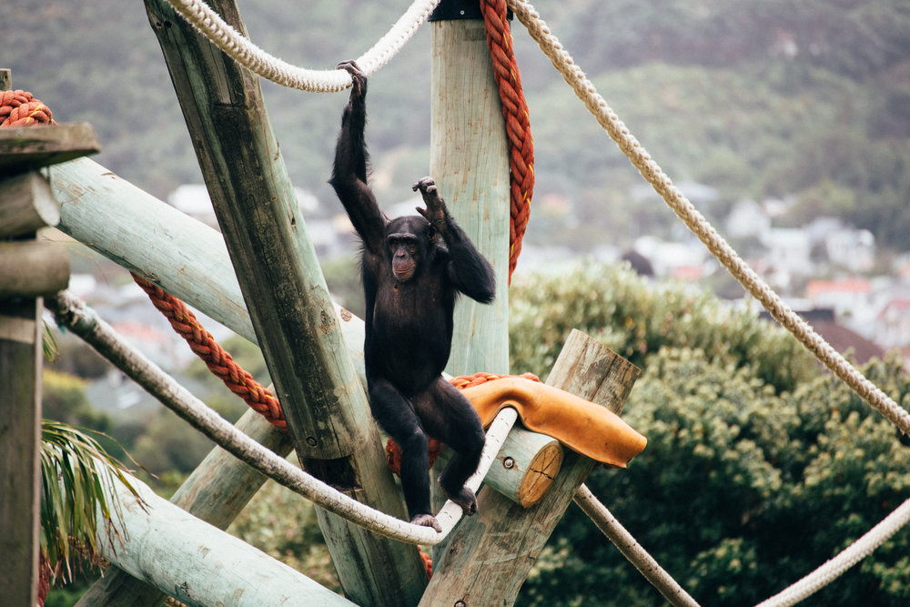 450m of poles, 8 marine grade ropes, 8 steel nests, all reaching high into the sky, providing new climbing and swinging experiences as well as all important sneaky hiding places to keep the chimps active and healthy.